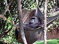 Gorillas - Zoo Atlanta - Atlanta, Georgia.jpg