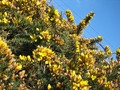 Gorse reaching over barbed wire.TIF
