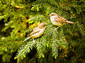 Gossiping sparrows (17966588118).jpg