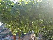 Grapevine from the Village of Aita al-Foukhar in Lebanon