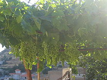 http://upload.wikimedia.org/wikipedia/commons/thumb/f/fc/Grapevine.jpg/220px-Grapevine.jpg