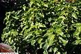 Graptophyllum pictum 8zz.jpg