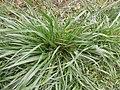 Gras in natürlicher Umgebung.JPG