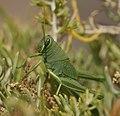 Grasshopper No. 2 (9430427789).jpg