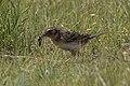 Grasshopper Sparrow (with food) Pawnee National Grasslands CO 2018-06-08 11-03-40-4 (47807035812).jpg
