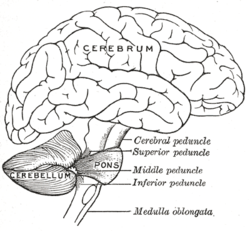 Cerebellum wikipedia drawing of the human brain showing cerebellum and pons ccuart Choice Image
