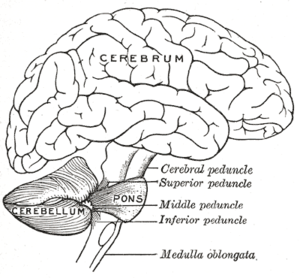 Cerebellum - Drawing of the human brain, showing cerebellum and pons