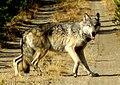 Gray wolf (Canis lupis) (14499463960).jpg