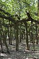 Great Banyan Tree - Indian Botanic Garden - Howrah 2012-09-20 0053.JPG