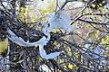 Great Egret (26772632716).jpg