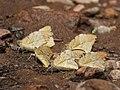 Great orange tip Mudpuddling from Melagiri TN IMG 6461.jpg