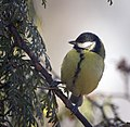 Great tit (25699167857).jpg