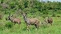 Greater Kudus (Tragelaphus strepsiceros) (6005882108).jpg