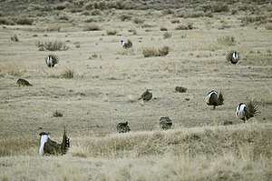 Lek mating - Greater sage-grouse at lek, with multiple males displaying for the less conspicuous females