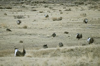 "Courtship display - Greater sage-grouse lek. Males performing courtship ""strutting"" display for visiting females."