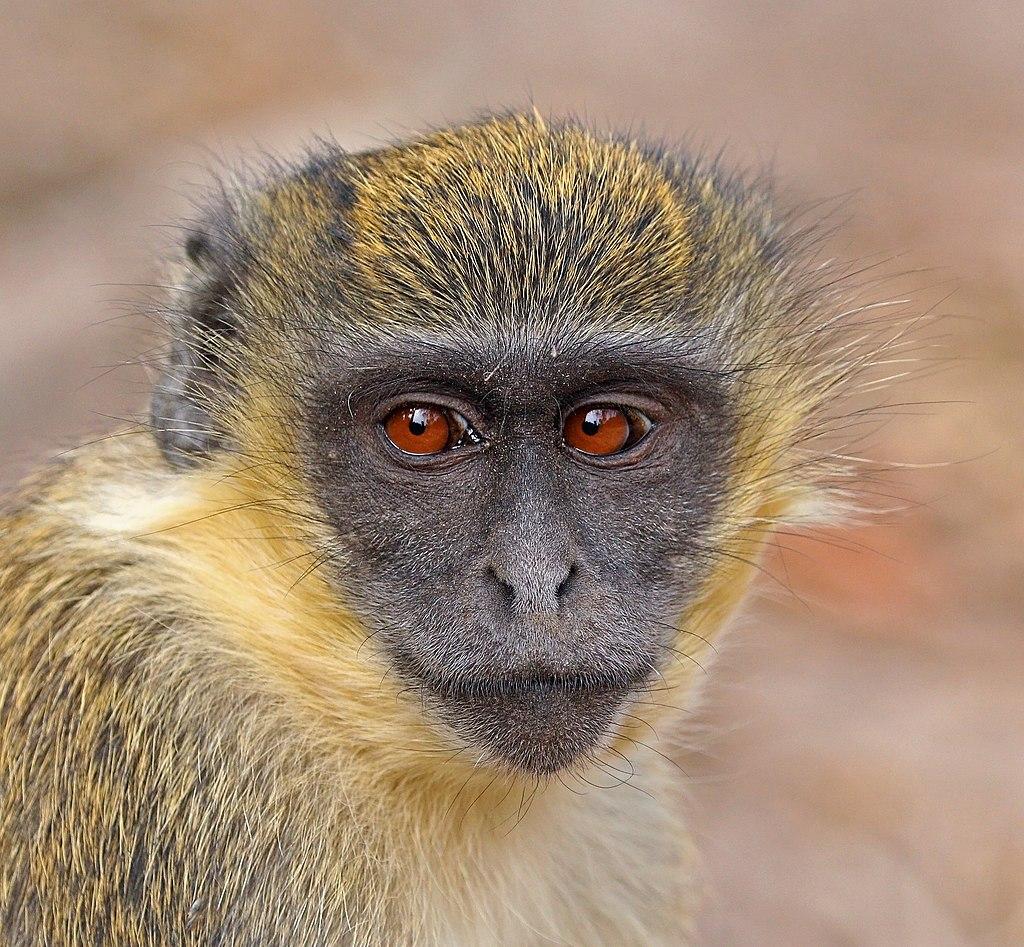 Green monkey (Chlorocebus sabaeus) juvenile head.jpg