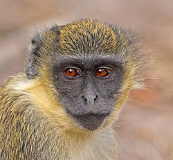 Green monkey (Chlorocebus sabaeus) juvenile head