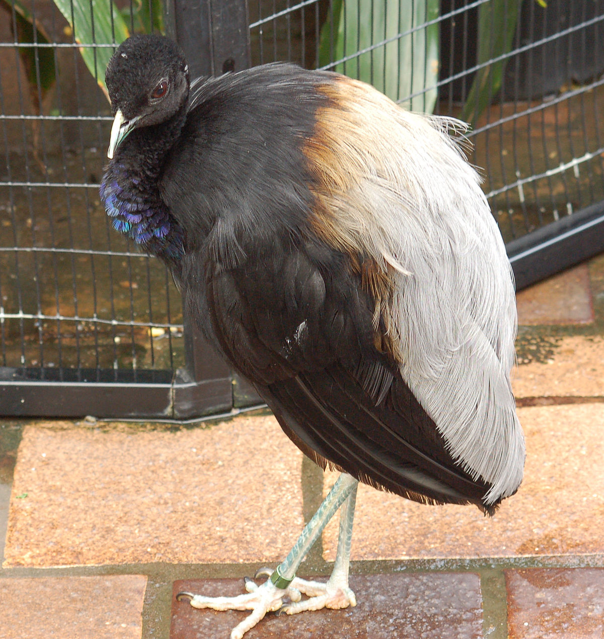 Grey-winged trumpeter - Wikipedia
