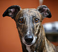 Greyhound Close-up.jpg