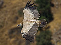 Griffon vulture (gyps fulvus) in flight.jpg