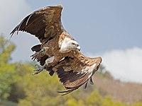 Griffon vulture takeoff.jpg