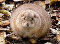 Ground hog. Size..large. (9113130260).jpg