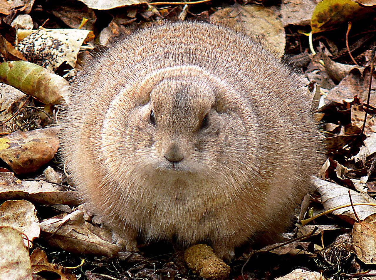 file ground hog size large 9113130260 jpg wikimedia commons