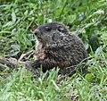 Groundhog (47852810281).jpg