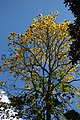 Guayacán amarillo (Tabebuia chrysantha) (14740251841).jpg