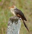 Guira Cuckoo (Guira guira) (29209870076).jpg