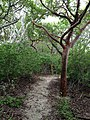 "Gumbo Limbo ""nice form"" - panoramio.jpg"
