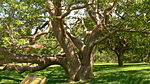 Gumbo Limbo Tree DeSoto National Monument.JPG