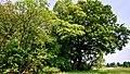 Hässeler Weiher von Neuenhaßlau - Schöner großer Baum.jpg
