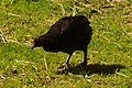 Hønsefugler (Galliformes) (5797731450).jpg