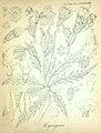 H.squarrosus-illustr-1.jpg
