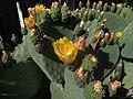 H20140525-2605—Opuntia ficus-indica (14099086420).jpg