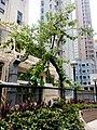 HK 西營盤 Sai Ying Pun 第三街遊樂場 Third Street Playground 公園 LCSD park green plants n trees August 2017 Lnv2 12.jpg