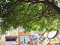 HK CWB 銅鑼灣 Causeway Bay 駱克道 Lockhart Road green tree leaves June 2019 SSG 01.jpg