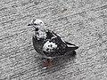 HK SYP 西環 Sai Ying Pun Market 正街 Centre Street 鴿子 pigeons near Third Street April 2020 SS2 02.jpg