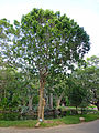 Halaba-Mitragyna parvifolia-Sri Lanka (2).jpg