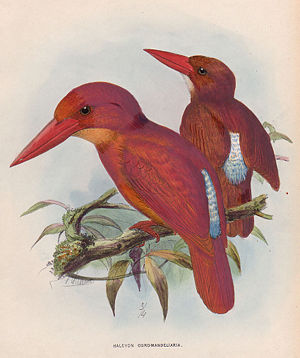 Ruddy kingfisher - H. coromanda by John Gerrard Keulemans
