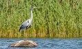 Hallhaigur - Grey Heron.jpg