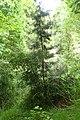 Halocarpus kirkii kz17.jpg