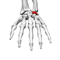 Hamate bone (left hand) 04 distal view.png