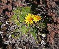 Haplocarpha rueppelii 02.jpg