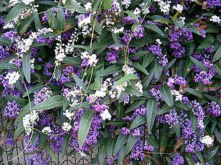 <i>Hardenbergia violacea</i> species of plant