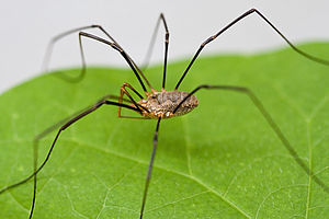 English: Macro shot of Opiliones Harvestmen