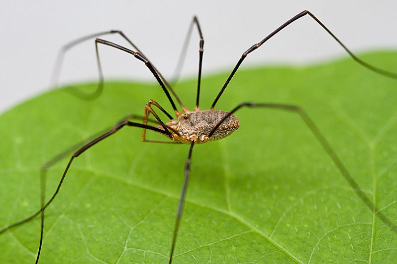 File:Harvestmen Close Macro.jpg