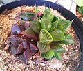 Haworthia mirabilis - mundula variety.jpg