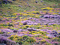 Heather and Gorse - geograph.org.uk - 52169.jpg
